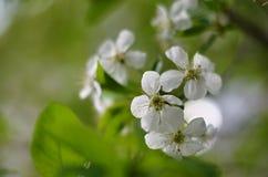 Λουλούδια της Apple στο φως πρωινού Στοκ Εικόνες