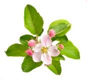 Λουλούδια της Apple Στοκ φωτογραφίες με δικαίωμα ελεύθερης χρήσης