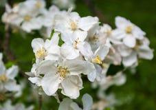 Λουλούδια της Apple Στοκ Εικόνες