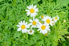 Λουλούδια της Daisy που ανθίζουν στα δέντρα μαζί ως ομάδα Στοκ εικόνα με δικαίωμα ελεύθερης χρήσης