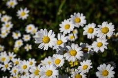 Λουλούδια της Daisy που ανθίζουν στον κήπο Στοκ φωτογραφία με δικαίωμα ελεύθερης χρήσης