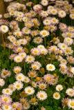 Λουλούδια της Daisy στη χλόη Στοκ εικόνα με δικαίωμα ελεύθερης χρήσης