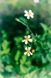 Λουλούδια της Daisy Στοκ Φωτογραφία