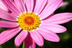 Λουλούδια της Daisy Στοκ εικόνα με δικαίωμα ελεύθερης χρήσης