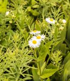 Λουλούδια της Daisy Fleabane που ανθίζουν στο καλοκαίρι Στοκ φωτογραφία με δικαίωμα ελεύθερης χρήσης