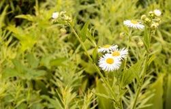 Λουλούδια της Daisy Fleabane που ανθίζουν στο καλοκαίρι Στοκ εικόνα με δικαίωμα ελεύθερης χρήσης