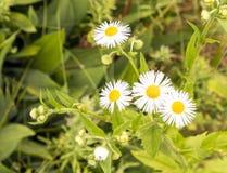 Λουλούδια της Daisy Fleabane που ανθίζουν στο καλοκαίρι Στοκ Εικόνες