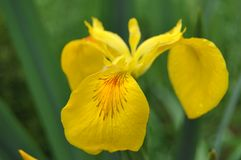 Λουλούδια της Iris σε μια προαστιακή περιοχή Στοκ εικόνες με δικαίωμα ελεύθερης χρήσης
