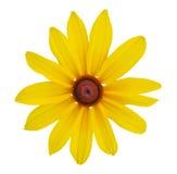 Λουλούδια της Susan Blackeyed Στοκ Φωτογραφίες