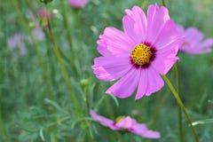 Λουλούδια της Zinnia Στοκ Εικόνες