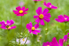 Λουλούδια της Zinnia Στοκ φωτογραφία με δικαίωμα ελεύθερης χρήσης