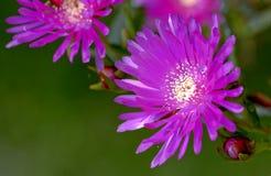 Λουλούδια τομέων άνοιξη της οικογένειας Aizoaceae αποκαλούμενης Mesembriantemo Στοκ φωτογραφία με δικαίωμα ελεύθερης χρήσης