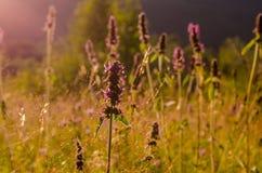 Λουλούδια τομέων Στοκ φωτογραφίες με δικαίωμα ελεύθερης χρήσης