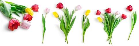 Λουλούδια τουλιπών καθορισμένα απομονωμένα στο λευκό με το ψαλίδισμα της πορείας συμπεριλαμβανόμενο στοκ εικόνες