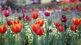 λουλούδια τουλιπών που βλασταίνουν την άνοιξη Στοκ φωτογραφία με δικαίωμα ελεύθερης χρήσης