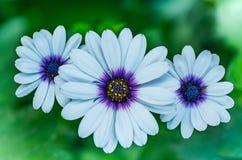 Λουλούδια του άσπρου oosteospermum υπαίθρια Στοκ Εικόνες