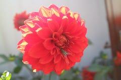 Λουλούδια του Δαλιού Στοκ Φωτογραφία