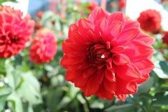 Λουλούδια του Δαλιού Στοκ Εικόνες