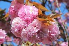 Λουλούδια του ιαπωνικού δέντρου κερασιών Στοκ Εικόνες