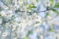 Λουλούδια του κερασιού Στοκ φωτογραφίες με δικαίωμα ελεύθερης χρήσης