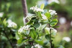 Λουλούδια του κοινού aronia, melanocarpa Aronia στοκ εικόνες με δικαίωμα ελεύθερης χρήσης