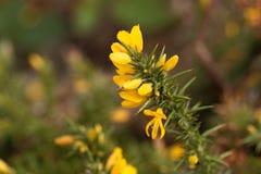 Λουλούδια του κοινού europaeus Ulex gorse Στοκ εικόνες με δικαίωμα ελεύθερης χρήσης