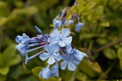 Λουλούδια του μπλε auriculata Plumbago plumbago Στοκ φωτογραφίες με δικαίωμα ελεύθερης χρήσης