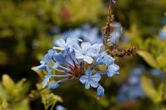 Λουλούδια του μπλε auriculata Plumbago plumbago Στοκ εικόνες με δικαίωμα ελεύθερης χρήσης