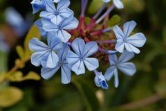 Λουλούδια του μπλε auriculata Plumbago plumbago Στοκ Εικόνες