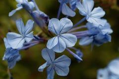 Λουλούδια του μπλε auriculata Plumbago plumbago Στοκ φωτογραφία με δικαίωμα ελεύθερης χρήσης