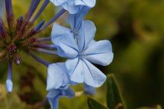 Λουλούδια του μπλε auriculata Plumbago plumbago Στοκ Φωτογραφία