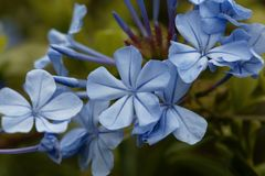 Λουλούδια του μπλε auriculata Plumbago plumbago Στοκ Εικόνα