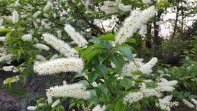 Λουλούδια του Μπους Spirea στοκ εικόνα με δικαίωμα ελεύθερης χρήσης