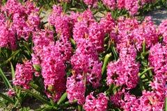 Λουλούδια του ρόδινου υάκινθου σε Crozon Στοκ Φωτογραφία