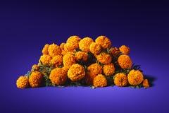 Λουλούδια του cempasuchil σε ένα πορφυρό υπόβαθρο στοκ φωτογραφία με δικαίωμα ελεύθερης χρήσης