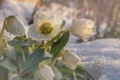 Λουλούδια το χειμώνα, άνθισμα hellebore Helleborus Νίγηρας Α στο χιόνι στον ήλιο Στοκ Εικόνα