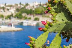 Λουλούδια τραχιών αχλαδιών, Nopal, λουλούδια αχλαδιών κάκτων Στοκ Εικόνα