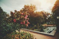 Λουλούδια τριαντάφυλλων στο Μπους και τη μικρή λίμνη Στοκ εικόνα με δικαίωμα ελεύθερης χρήσης