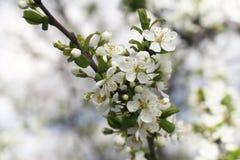 Λουλούδια των ανθίζοντας δέντρων μηλιάς 10 Στοκ Φωτογραφίες