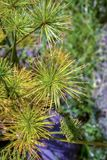 Λουλούδια των εγκαταστάσεων παπύρων dwarft στοκ φωτογραφία με δικαίωμα ελεύθερης χρήσης