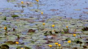Λουλούδια των κρίνων νερού στο νερό φιλμ μικρού μήκους