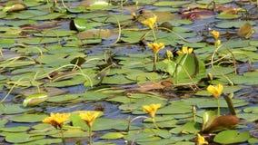 Λουλούδια των κρίνων νερού στο νερό απόθεμα βίντεο