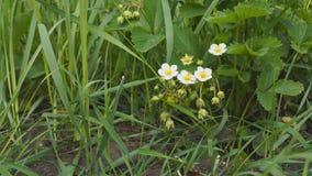 Λουλούδια των φραουλών κήπων φιλμ μικρού μήκους