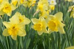 Λουλούδια των χρωμάτων κίτρινων αναμμένων από το φως του ήλιου Μπροστινή όψη Στοκ Φωτογραφία