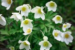 Λουλούδια των anemones Στοκ εικόνα με δικαίωμα ελεύθερης χρήσης