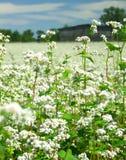 λουλούδια φαγόπυρου Στοκ εικόνες με δικαίωμα ελεύθερης χρήσης