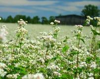 λουλούδια φαγόπυρου Στοκ Φωτογραφίες