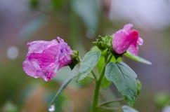 Λουλούδια φθινοπώρου στον κήπο μετά από το χιόνι πρωινού Στοκ Φωτογραφίες