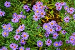 Λουλούδια φθινοπώρου στον κήπο στη χώρα Στοκ Εικόνες
