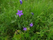 Λουλούδια φυσητήρων Τομείς Luga στοκ φωτογραφίες με δικαίωμα ελεύθερης χρήσης